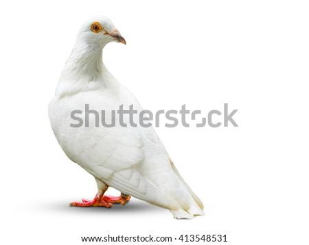 white dove bird isolated on white background - stock photo