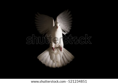white dove flies out of the darkness into the light,pigeon