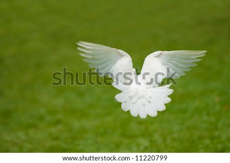 white dove flying - stock photo