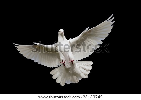 White dove flying in on the Sky. - stock photo