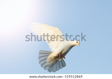 white dove flying in the blue sky with sunny hotspot