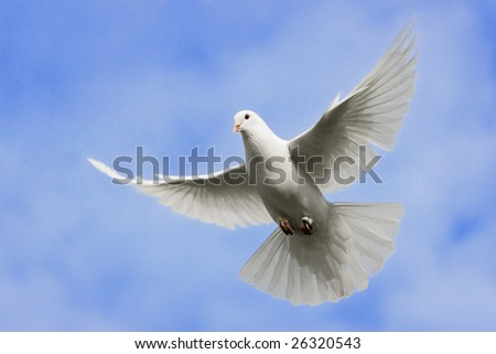 White dove flying on on the Sky. - stock photo