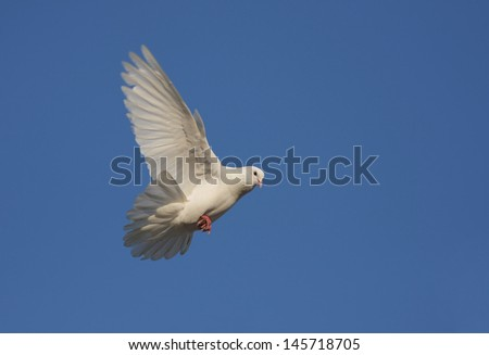 White Dove in Flight - stock photo