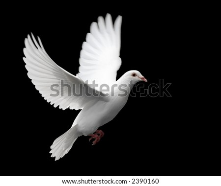 White Dove in Flight 1 - stock photo