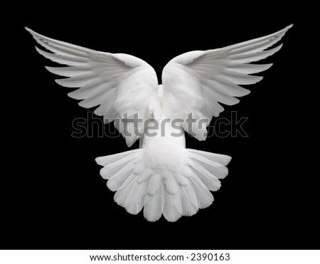 White Dove in Flight 2 - stock photo