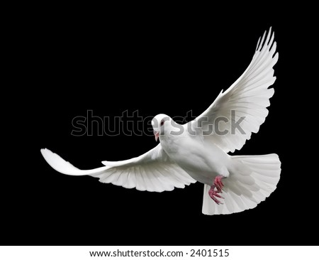 White Dove in Flight 6 - stock photo