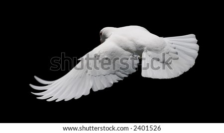 White Dove in Flight 8 - stock photo