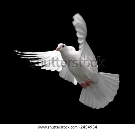 White Dove in Flight 9 - stock photo