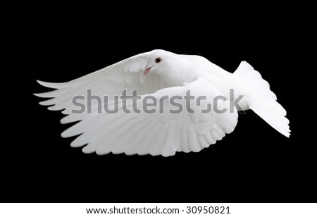 White Dove in Flight 12 - stock photo