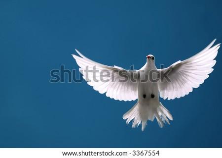White Dove in Flight - stock photo