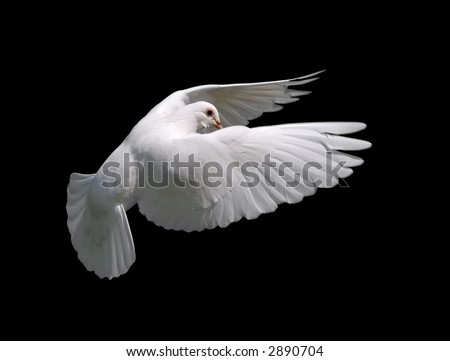 White Dove in Flight 10. A free flying white dove isolated on a black background. - stock photo