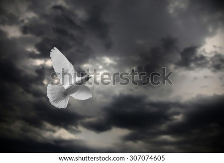 White Dove in Flight  and cloudy sky  - stock photo