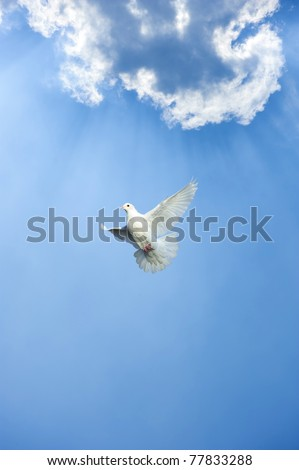 white dove in free flight under blue sky - stock photo