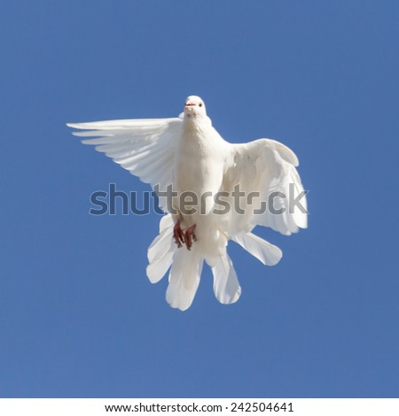 white dove on a background of blue sky - stock photo