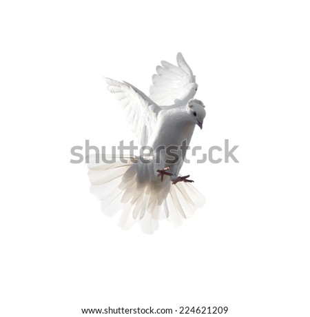 white dove on white background - stock photo