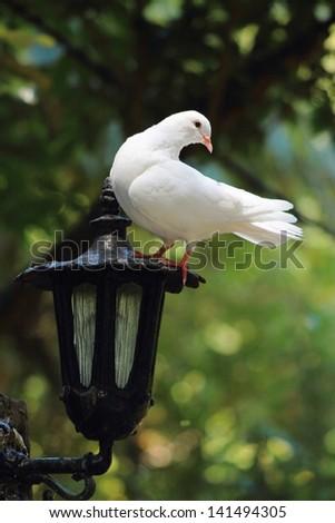 White Dove perches on Lantern - stock photo