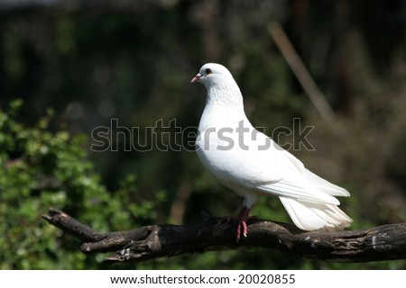 White dove sitting on a branch in the wild - stock photo