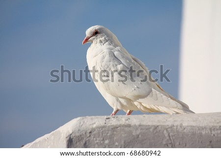 White dove sitting on the wall - stock photo