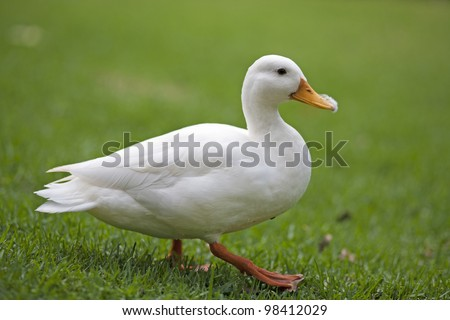 White Duck - stock photo