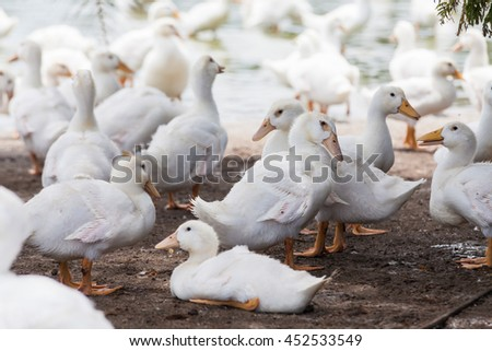 White duck in a farm with pond