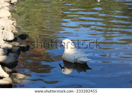 white duck on water - stock photo