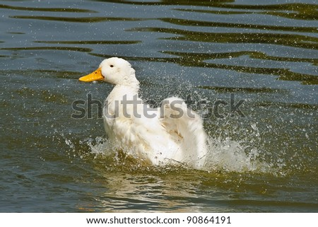 white duck swimming in the lake - stock photo