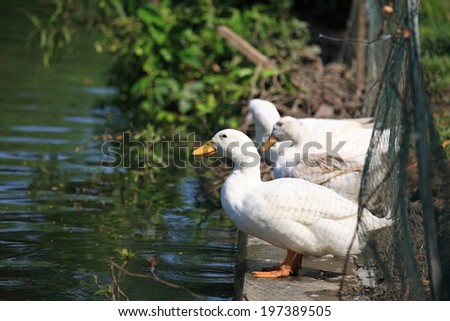 White ducks standing near the pond at farm - stock photo
