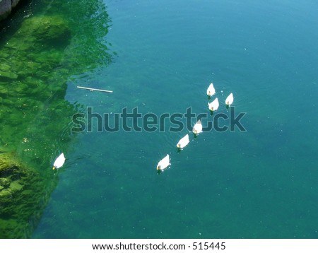 White ducks swimming on still, clear river