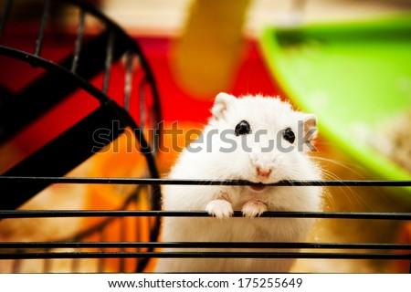 white dwarf hamster biting cage - stock photo