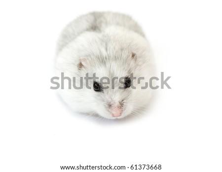 white dwarf hamster isolated on white - stock photo