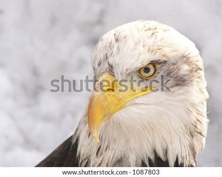 White eagle in winter - stock photo