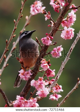 White-eared Sibia - stock photo
