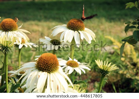 White Echinacea with butterfly, in country home rustic ecological garden by very sunny day - stock photo