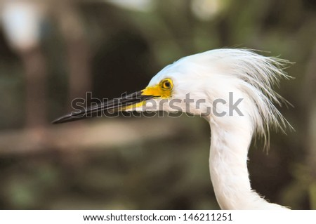 white egret cleaning its feathers