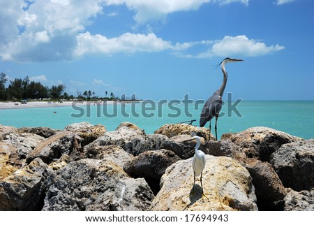 White Egret & Great Blue Heron on Captiva Island - stock photo