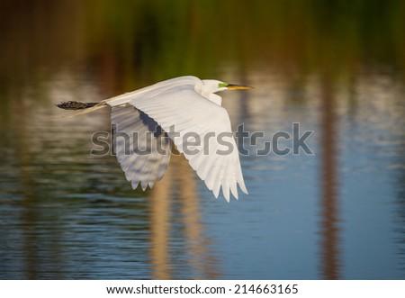 White egret in breeding plumage flies over pond - stock photo