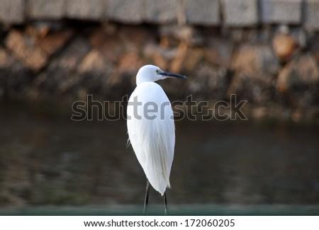 White egret on the lake shore in Xiamen, China - stock photo