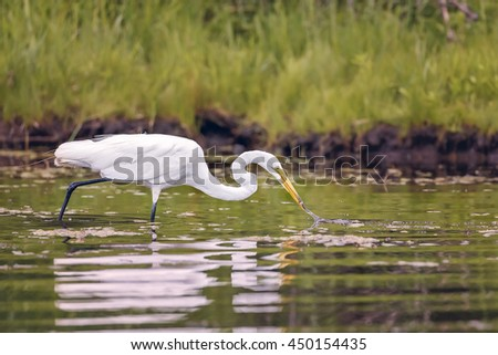 White Egret wading in the lake and hunting. - stock photo