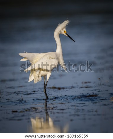 White egret with fluffy feathers - stock photo