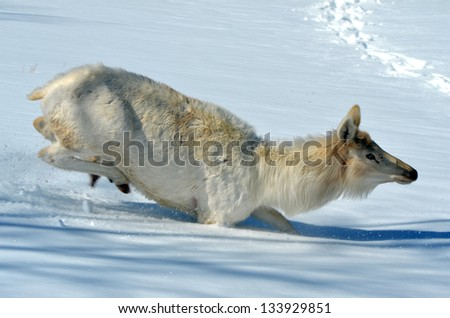 White Elk in winter - stock photo