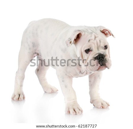 white english bulldog puppy standing with reflection on white background - stock photo