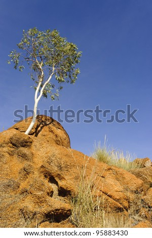 White eucalyptus tree on red rock against blue sky, with space for copy - stock photo