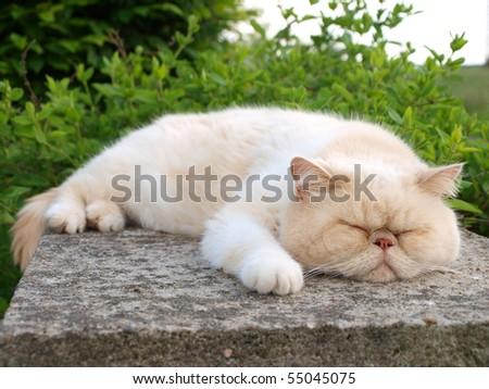 White exotic cat sleeping - stock photo