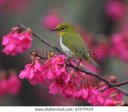 white eye on twig of cherry blossoms