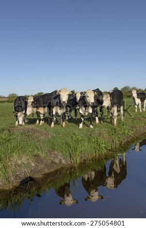 White-faced black Herefordshire bullocks - known as 'Baldys' - on a farm in the Somerset Levels. - stock photo