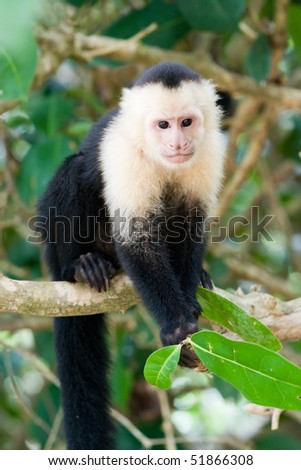 White faced Capuchin Monkey - stock photo