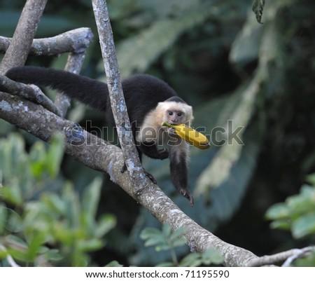 white faced capuchin monkey with banana in mouth, pico bonito national park, honduras - stock photo