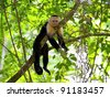 White faced Capuchin sitting in a tree, Manuel Antonio national park - stock photo