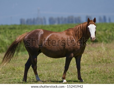 white faced mare - stock photo