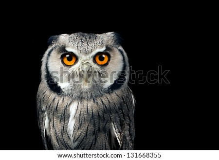 White faced owl against a black background - stock photo